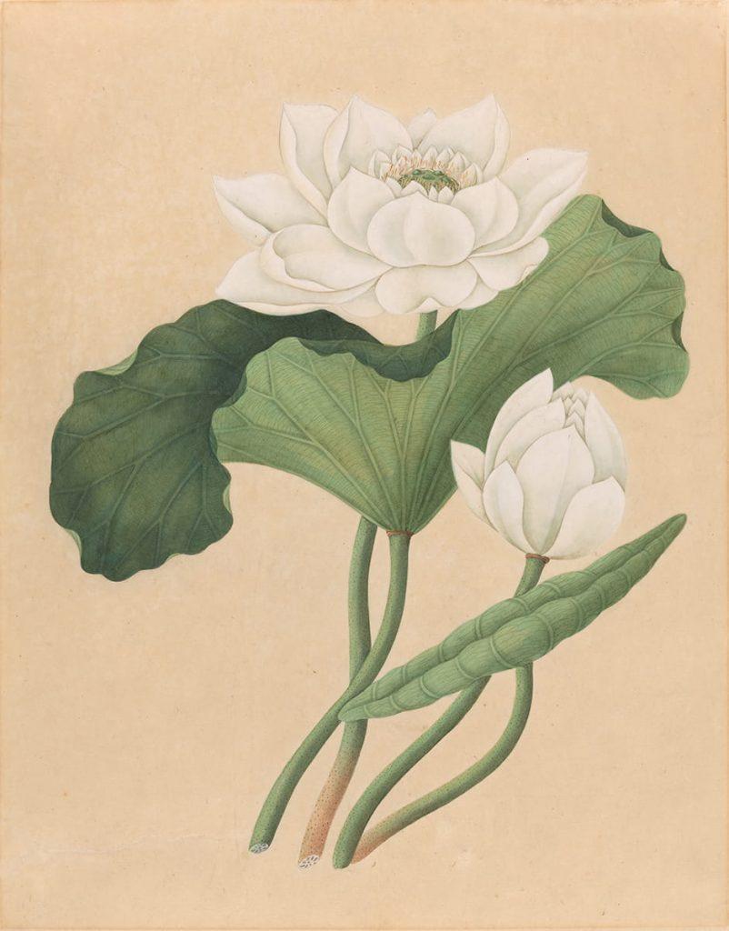 acquerello botanico east indian lotus